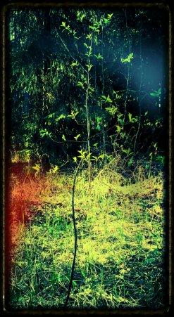 Raita on löytänyt tilaa pieneltä metsäiseltä aukiolta