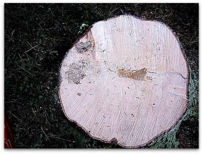 vuosikertoja on tällekin puulle kertynyt ennen kumoon menoa